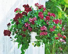 Géraniums dans une jardinière suspendue : planter des #geraniums en hauteur #lesbonsgestes