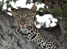 """Quiet Leopard"" by Barbara Robert: We spotted this young leopard resting in a sausage tree while on safari in Tanzania."