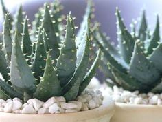 Aloe – Those spiraling leaves certainly look cool, and they'll really thrive on your desk or bedside table. Aloe loves indirect light, plus a good soak every week or two. Click through for the entire gallery and for more indoor plants.