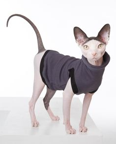 And this is what I would do with my Sphynx cat... Dress it up! Clothes time for you Mister. ;)