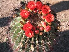 barrel cactus blooming - Google Search