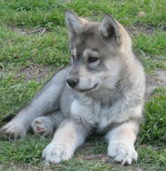 my future. right here. Wolf Dog Puppy, Wolf Husky, Wolf Pup, Cute Puppies, Cute Dogs, Dogs And Puppies, Beautiful Wolves, Animals Beautiful, Wolf Photos