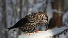 Spotted Nutcracker (Nucifraga caryocatactes) 9.02.2018 spottednutcracker nutcracker nucifragacaryocatactes tannenhäher mänsak bird birdvideo p900 nikoncoolpixp900