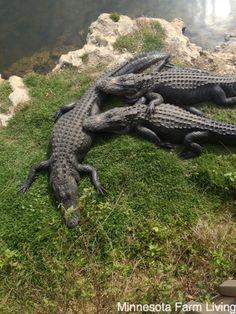 #Alligator Love! Gotta love #Florida animals!