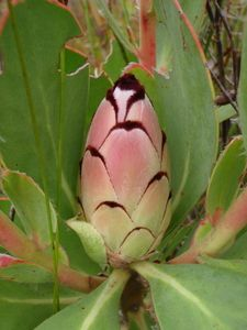 Protea Stokoei Pink/Blushing Sugarbush S A no Easy Art, Simple Art, Exotic Flowers, Pink Flowers, Australian Native Flowers, Desert Plants, Trees To Plant, South Africa, Nature