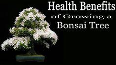 Health Benefits of Growing a Bonsai Tree Bonsai, Health Benefits, Videos, Nature, Plants, Bonsai Trees, Bonsai Plants, Flora, Plant