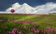 Flowers Below Snowy Mountain (click to view)