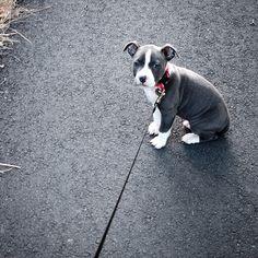 American staffordshire terrier amstaff named daisy