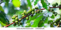 Kaffeebohnen Mit Früchte Stockfotos und -bilder | Shutterstock