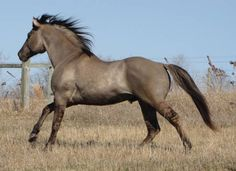 He is homozygous black and he carries the cream gene. No red foals. Grulla Horse, Dun Horse, Andalusian Horse, Arabian Horses, Palomino, All The Pretty Horses, Beautiful Horses, Animals Beautiful, American Quarter Horse