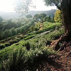 Under the olive tree #gardening #garden #design #gardendesign #style #jpdesigner #trees #bushes #green #Marbella #luxury #countrystyle #countryside #rosmarinus #instagram #bushes #shapes #landscapedesigner #landscape #landscapearchitecture