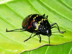 Zigzag fungus beetle (Erotylus incomparabilis) photo taken in the Amazon rainforest of Ecuador. By artour_a via Flickr. Beautiful Bugs, Most Beautiful Animals, Rainforest Butterfly, Rainforest Insects, Ecuador, Rainforest Activities, Amazon Image, Amazon Rainforest, Tropical Birds