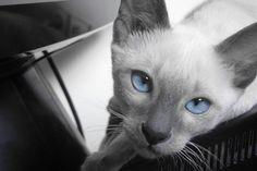 Tango, my blue point siamese kitten