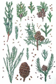 Scale-leaved conifers: juniper, thuja, Lawson cypress, cypress, cryptomeria, sequoiadendron. Illustrated with seeds and magnified shoot tips.