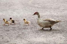 Free Photo: Ducks, Animal, Nature, Duck, Bird - Free Image on Pixabay - 204332