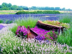 Flower Photography Lavender Fields Lavender by LDTwedePhotography, $7.99