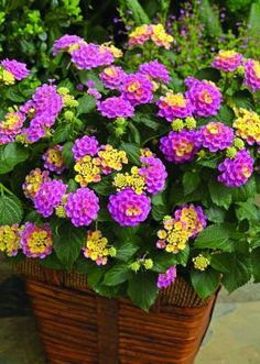 flowers.quenalbertini: Lantana Bandana Pink (all Lantana plants are butterfly and bee friendly)