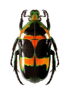 Heterorrhina sexmaculata dohrni. É uma espécie de escaravelho descrito por Fabricius em 1801. Heterorrhina sexmaculata está incluído no gênero Heterorrhina e família Cetoniidae. Está  dividida nas seguintes espécies: H. p. Imperatrix e H. p. Dohrni.