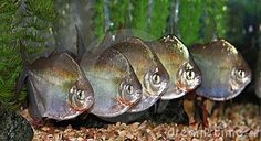 Group of silver dollar fishes.