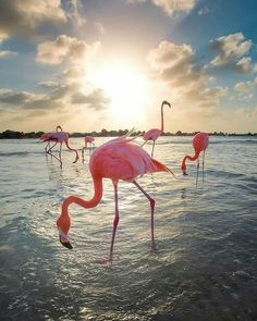 Flamingos on the beach! 💦 Thirsty in Aruba, Caribbean 🌴 Video and photos by Flamingo Beach, Flamingo Art, Pink Flamingos, Pretty Birds, Beautiful Birds, Pretty In Pink, Flamingo Pictures, Flamingo Wallpaper, Pink Bird