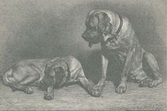 A 19th-Century account of the Mastiff captures a new English breed just as its roots are set in American soil. Modern Molosser  |  www.modernmolosser.com