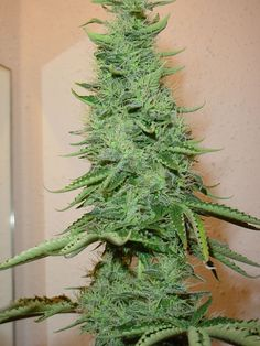 Such a Beautiful Marijuana Plant and Buds from RedEyesOnline.com