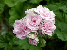 Zonal Pelargonium 'Millfield Rose' Köpte på Tuna trädgård våren -17