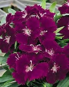 Dianthus Ideal - deep violet from paseseeds.com