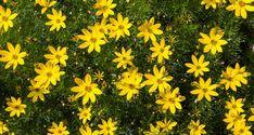 Coreopsis verticillata, Tickseed or Thread Leaf Coreopsis