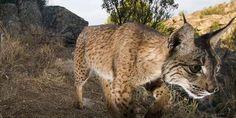Iberischer Luchs: Hoffnung für eine der seltensten Katzen der Welt