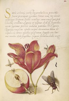 Insects, Orange Lily, Caterpillar, Apple, and Horse Fly;Mira calligraphiae monumenta - by Joris Hoefnagel (Flemish / Hungarian, 1542 - 1600) and Georg Bocskay (Hungarian, died 1575) - written 1561 - 1562; illumination added about 1591 - 1596 - via Getty Museum