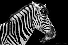 Amazing B&W wild animals photography by Wolf Ademeit from Germany.