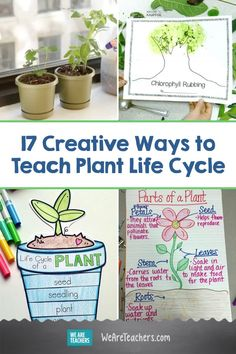 17 Creative Ways to Teach Plant Life Cycle. Teaching plant life cycle? Check out these creative and easy ways to teach your students about growing a seed in the classroom. #teachingscience #science #gardening #activities