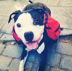 11/7/16 Meet Archer, a Petfinder adoptable Pit Bull Terrier Dog | San Ramon, CA | Meet Archer! Archer is a very sweet dog who is patiently waiting for a loving forever home! To get...