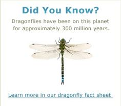 cool infor about dragon flies