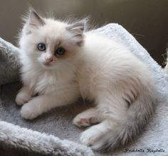 Blue Point Bicolor Ragdoll Kitten