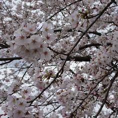 福岡市動物園ブログ: 桜情報(4/6)桜も満開!見ごろになりました♪