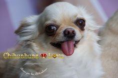 Chihuahuas Love - Como Funcionan Los Servicios Post Venta. Chihuahuas Love.