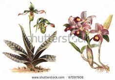 Orchid 库存照片, Orchid 库存照片, Orchid 库存图片 : Shutterstock.com