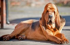 10 Most Intelligent Dog Breeds Bloodhound Dogs, Huge Dogs, Dog Id, Crazy Dog, Family Dogs, Dog Photos, Animals Beautiful, Beautiful Creatures, Mans Best Friend