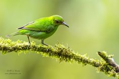 Photo Green Honeycreeper by J. Uriarte on 500px