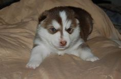 My future baby! She is an Alusky puppy, Alaskan malamute/husky mix...I can't wait to get her!