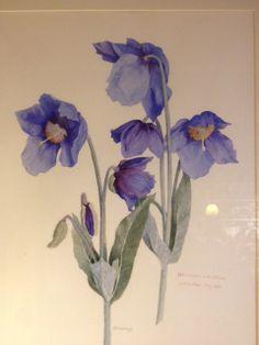 Meconopsis Sheldonii (Blue Himalayan Poppies) painted by Daphne Levinge Shackleton. Visit Dublin Botanic Gardens www.botanicgardens.ie
