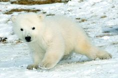 Toronto Zoo's newest polar bear cub is now accepting visitors!!