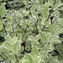 Pittosporum - mini foliage