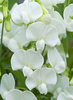 Weisse Platterbse / white sweetpea - Beautiful and the muilti colours available in Sweet Peas are a sight to behold.