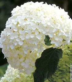 White - Annabelle Hydrangea. Annabelle is the bell of the garden. She has beautiful large white blossoms.