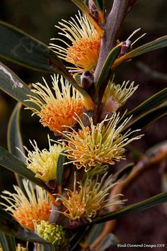 Hakea cinerea - Ashy-leaved Hakea, Ashy Hakea - © All Rights Reserved - Black Diamond Images