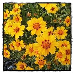 Tequila Sunrise Coreopsis  ~ See the Plant Information Index for more details at kieferlandscaping.com