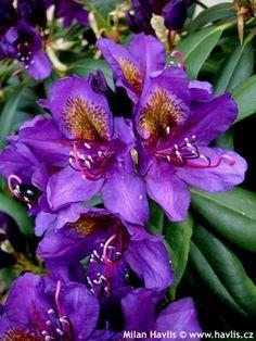 Amazing flowers - My Garden Beautiful Flowers Garden, Amazing Flowers, Pretty Flowers, Beautiful Gardens, Pruning Azaleas, Tree Identification, Foundation Planting, Hardy Plants, Daffodils